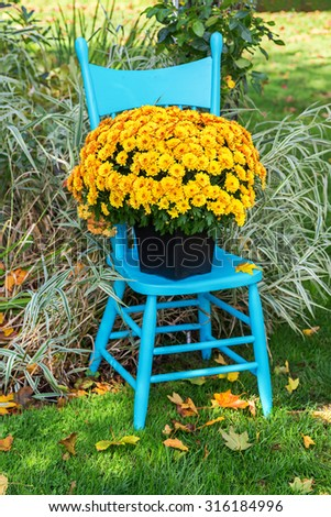 A pretty yellow garden mum on a turquoise blue chair in the home garden. - stock photo