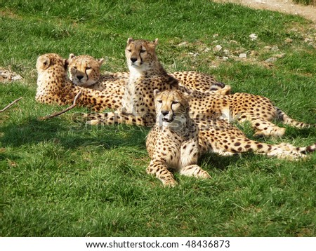 A pride of cheetahs is rest on a meadow - stock photo