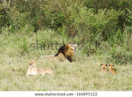 A pride of lions in the savannah grassland - stock photo