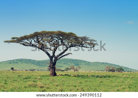 A pride of lions is sleeping beneath the acacia tree - stock photo