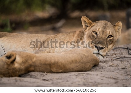 a pride of lions sleeping, Chobe National Park, Botswana