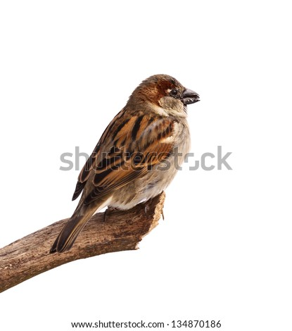 A profile of a sparrow posed to display the browns, blacks and grays of its feathers. The bird is perched on a branch with a sunflower in its beak. White background. - stock photo