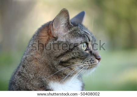 A profile of an adult tabby cat - stock photo