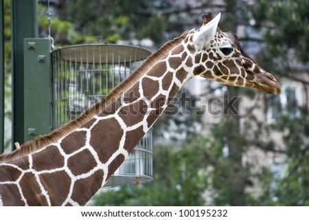 A profile shot of a giraffe. - stock photo