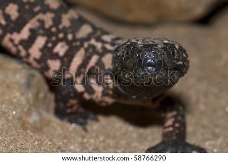 A protected gila monster in Arizona.  They are 1 of only 2 venomous lizards in the world.