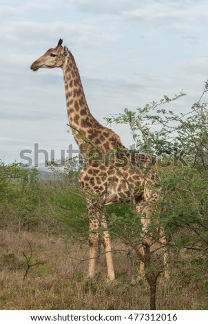 A proud giraffe standing tall at a game reserve in Kwa-ZuluNatal