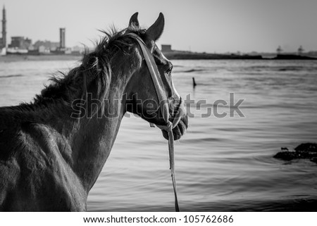 A proud horse observing with wisdom/the Wise Horse/Alexandria - Max - Egypt - stock photo