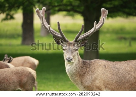 A proud red deer stag displays its antlers - stock photo