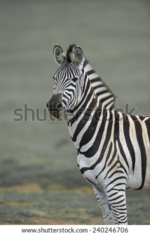 A Proud Zebra Stallion poses for the camera  - stock photo