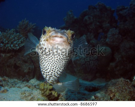 A pufferfish looking staight towards the viewer. - stock photo