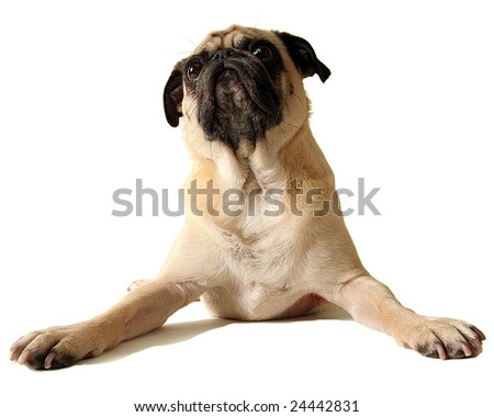 A pug doing the splits