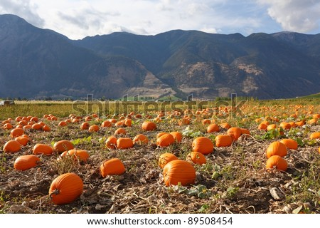 A pumpkin patch ready to be harvested in Keremeos, British Columbia in the Similkameen Valley, Canada. - stock photo