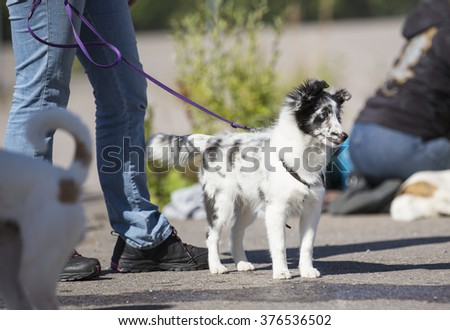 A puppy dog stands in a dog show on a sunny summer day. The dog is wearing a collar and it is on a leash. The dog breed is a shetland sheepdog. - stock photo