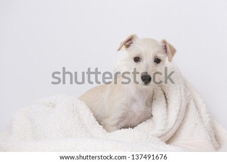 A puppy in a blanket - stock photo