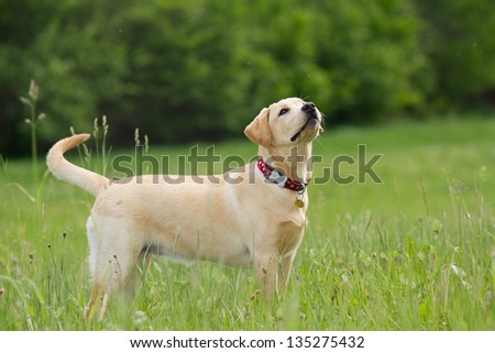 A puppy of labrador retriever in a grass - stock photo