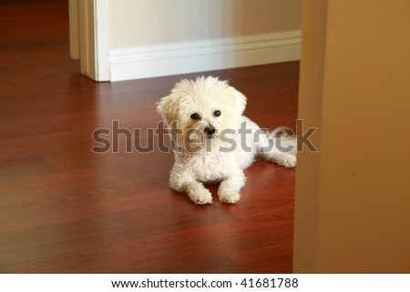 a Purbred Bichon Frise dog relaxes in her house in the morning sunlight - stock photo