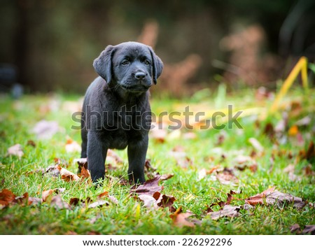 A pure bred black Labrador retriever puppy playing outside in the yard during the fall season.  - stock photo
