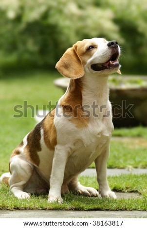 A pure breed beagle photo taken by a telephoto lens.