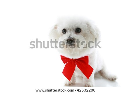 A Pure breed Bichon Frise wears a red bow with room for your text isolated on white - stock photo