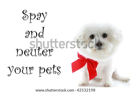 "A Pure breed Bichon Frise wears a red bow with ""spay and neuter your pets"" text isolated on white, text is easily replaced with your text - stock photo"