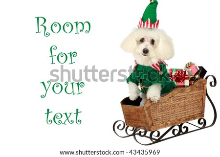 """a """"pure breed"""" """"bichon frise"""" wears his Elf costume in his """"santa sleigh"""" """"isolated on white"""" with """"room for  text"""" - stock photo"""