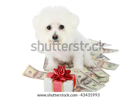 "a ""pure breed"" ""bichon frise"" with a gold bow sits on a pile of money ""isolated on white"" with ""room for text"" - stock photo"