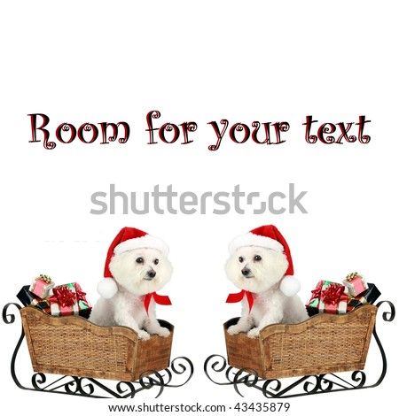 """a pure breed """"Bichon Frise"""" with a red bow, in a """"santa Sled"""" """"isolated on white"""" with """"room for your text"""" - stock photo"""