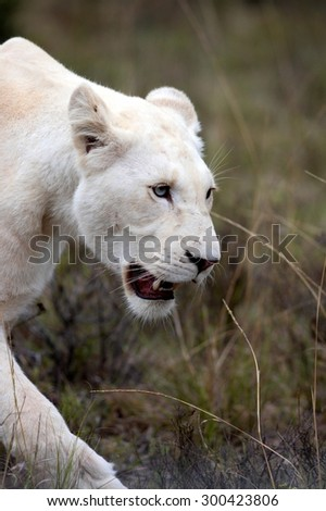 A pure white lion / lioness walking past. South Africa - stock photo
