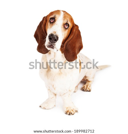 A purebred Basset Hound dog sitting and looking up with sad eyes - stock photo