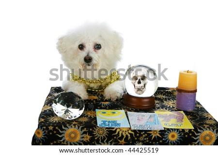 """a purebred Bichon Frise as a """"Pet Psychic"""" or """"Psychic Pet"""" or """"fortune teller"""" sees """"Doom and Gloom"""" in you future  isolated on white with room for your text - stock photo"""