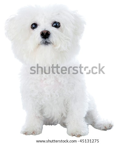 a purebred bichon frise isolated on white - stock photo