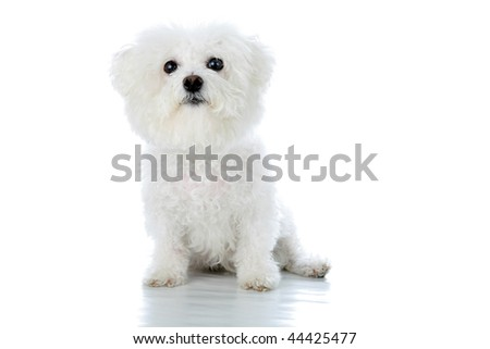 a purebred Bichon Frise isolated on white with room for your text - stock photo