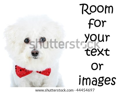 a purebred Bichon Frise wears her Red Bowtie with room for your text isolated on white