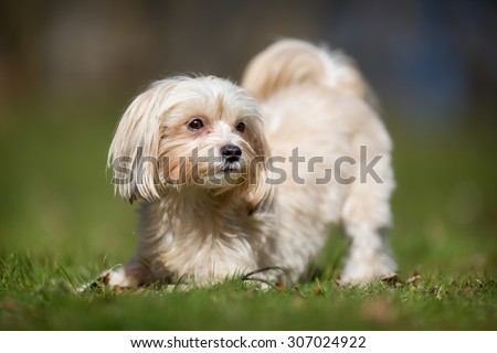 A purebred bichon havanais dog without leash outdoors in the nature on a sunny day.