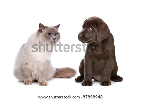 a purebred cat and a chocolate Labrador puppy in front of a white background - stock photo