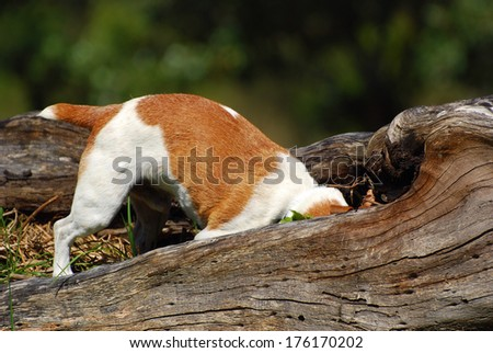 A purebred Parson Jack Russell dog hunting mice in the forest. - stock photo