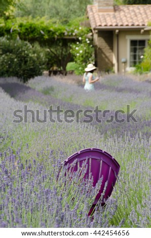 A Purple Chair in A Lavender Field - stock photo