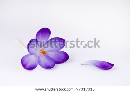 a purple crocus flower - stock photo