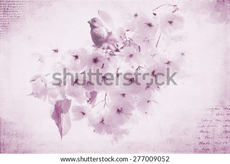 A Purple Finch sitting on a cherry blossom tree  - stock photo