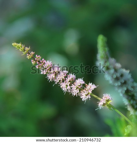 A purple flower from a green mint plant. - stock photo