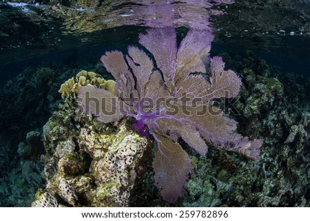 A purple gorgonian exists on a shallow coral reef on Turneffe Atoll in Belize. This beautiful and common Caribbean sea fan catches planktonic organisms that drift in oceanic currents. - stock photo