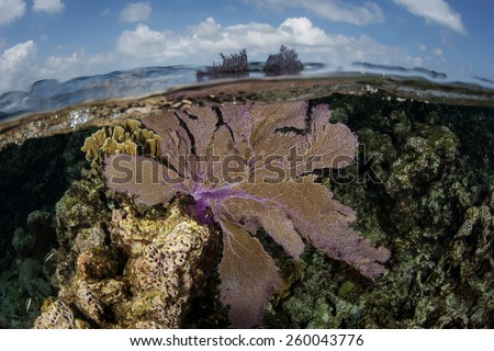 A purple gorgonian grows on a shallow coral reef on Turneffe Atoll in Belize. This beautiful and common Caribbean sea fan catches planktonic organisms that drift in oceanic currents. - stock photo