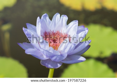 A purple lotus with red pollen - stock photo