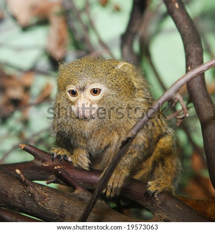 A pygmy marmoset sitting in a tree - stock photo