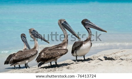 A quartet of pelicans during rush hour on the beach. - stock photo