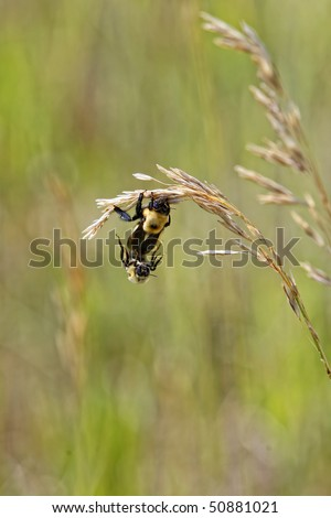 A queen bee and a male drone Bumblebee (genus Bombus in the family Apidae) mate in a field of grass in order to create a new colony (shallow depth of field). - stock photo