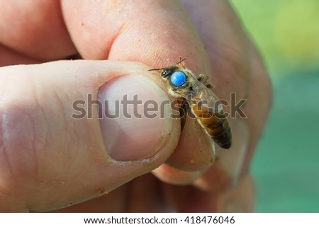 A queen bee is marked with a blue dot (Apis mellifera) - stock photo