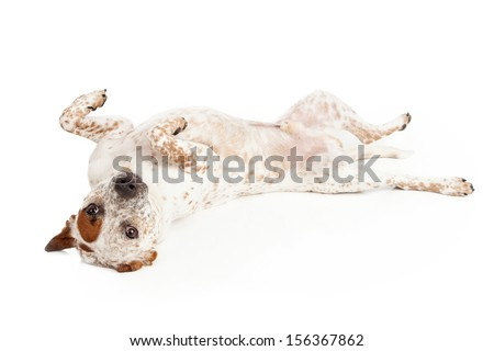 A Queensland Heeler Catahoula Leopard mixed breed dog laying on his back against a white backdrop - stock photo