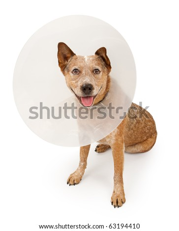 A Queensland Heeler dog (also known as an Australian Cattle Dog) wearing a plastic cone around his neck due to an injury. Isolated on white.