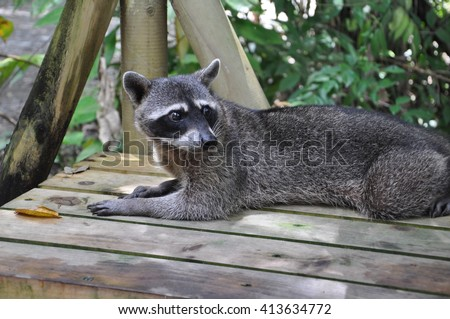 A raccoon at the Isimangaliso wetland ark, St Lucia, South Africa - stock photo